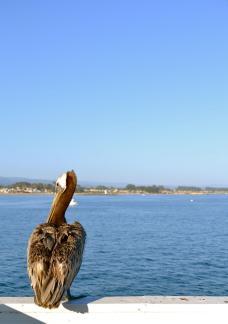 pelican?